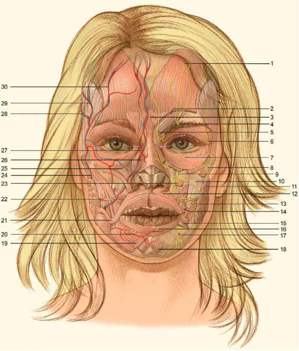 Facelift Related Anatomy - Aesthetic Surgery - AmeriCorps Health Blog