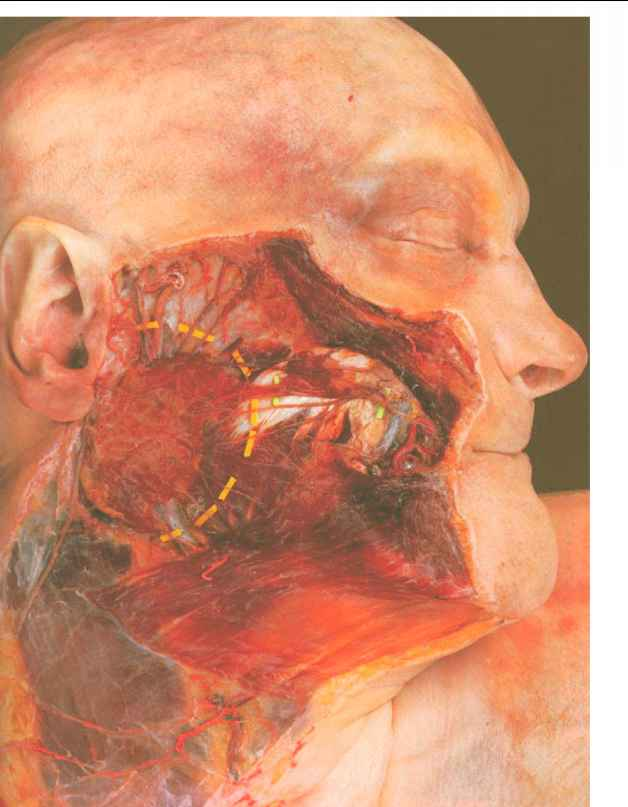 Masseteric Cutaneous Ligament