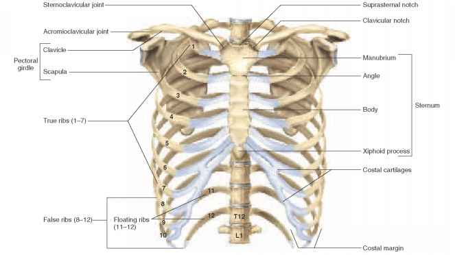 Thoracic Cage And Pectoral Girdle View