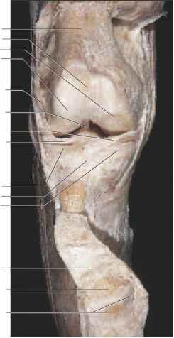 Articular Facets The Patella