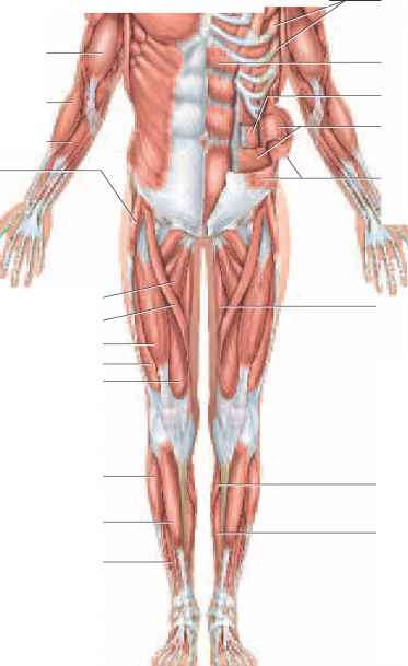 Muscular System Not Labeled