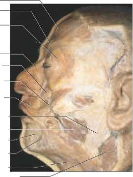 Cadaver Facial Muscles