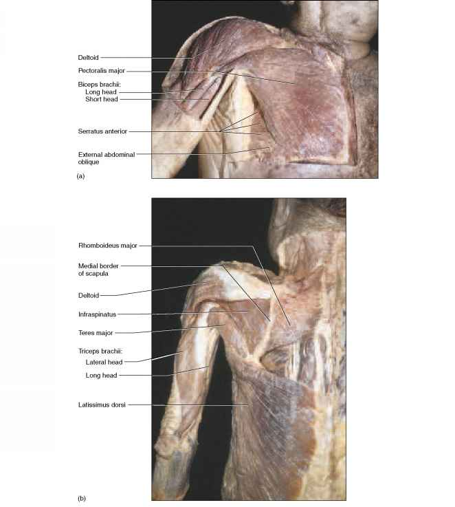 Labeled Cadaver Muscles