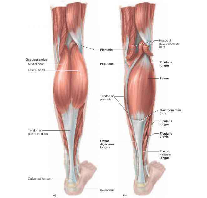 Posterior Crural Muscles