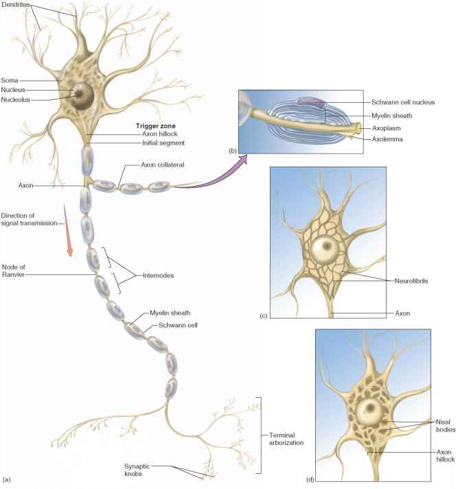 Anatomy Multipolar Neuron
