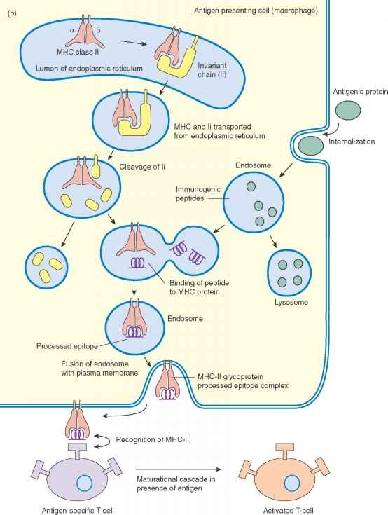 Endogenous Antigen Presentation