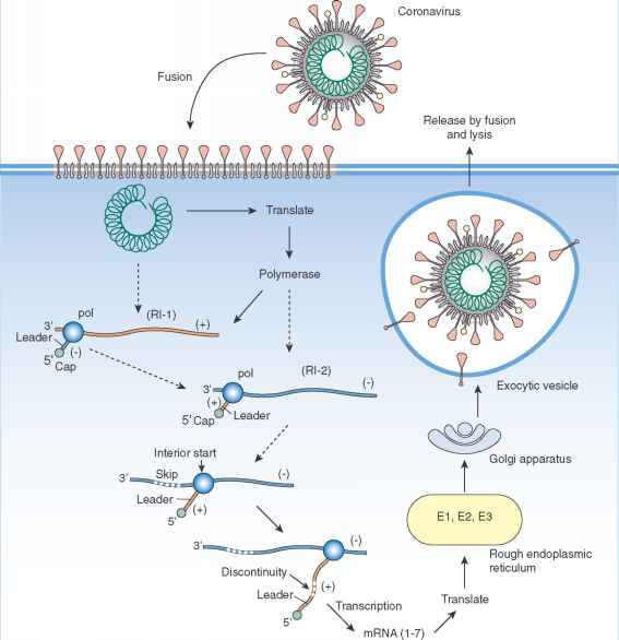 Coronavirus Replication Review
