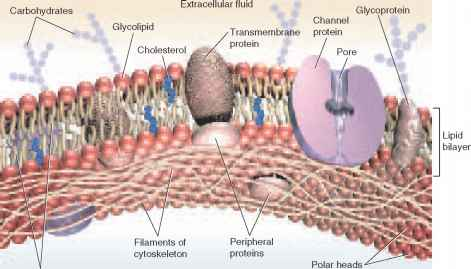 Phospholipid Cell