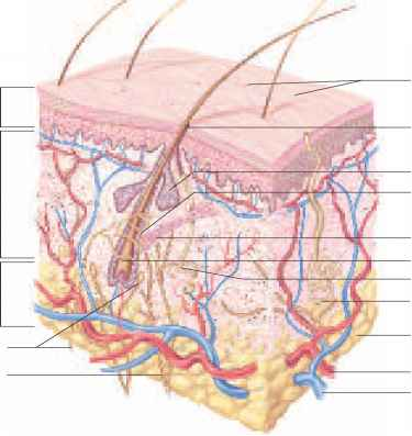 Integumentary system model pictures FMS - Cheat Sheet Collections
