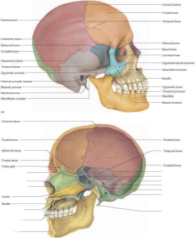 Cranial Bones Physiology Americorps Health Blog