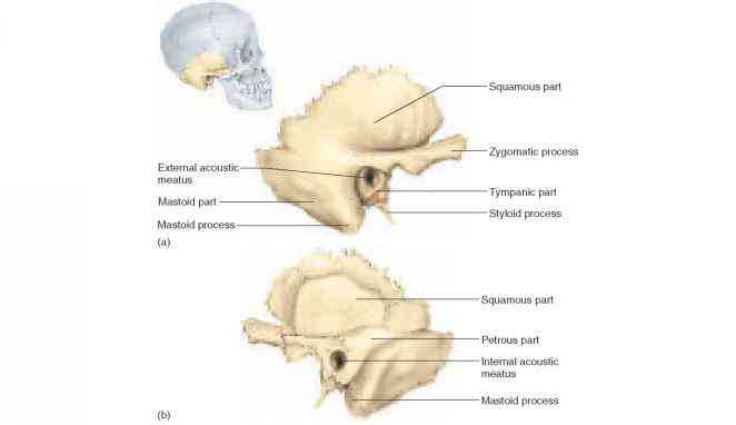 Cranial Bones - Physiology - AmeriCorps Health Blog Temporal Bone