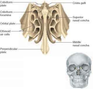 cranial bones - physiology - americorps health blog, Cephalic Vein