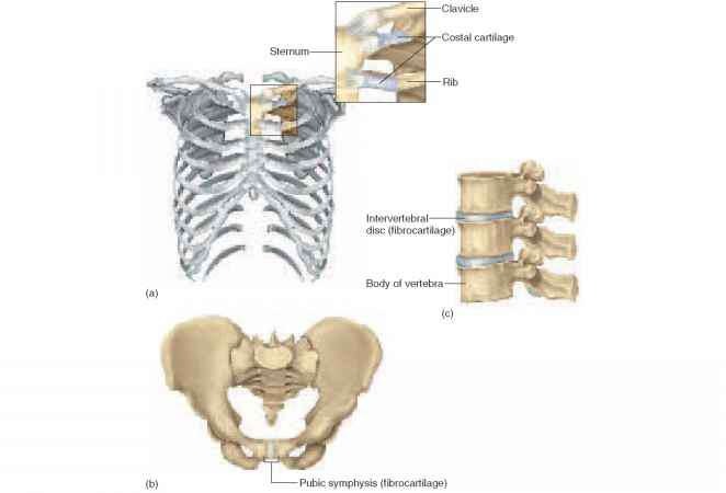 Bony Joints Synostoses Physiology Americorps Health It is a type of cartilaginous joint, specifically a secondary cartilaginous joint. bony joints synostoses physiology