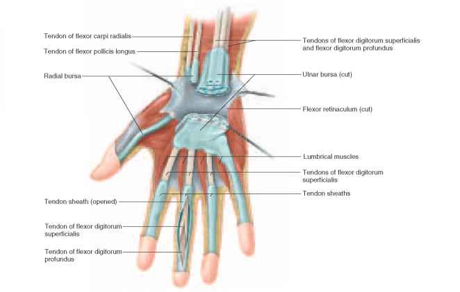 Types Of Synovial Joints Physiology Americorps Health Blog