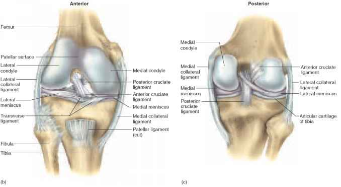 Diagram Of Front Of Knee All Kind Of Wiring Diagrams
