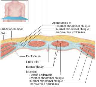 Abdominal Wall Cross Section