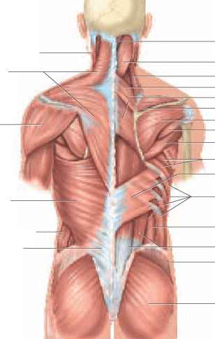 Muscles Of The Back Physiology Americorps Health Blog