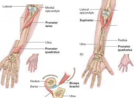 Muscles Acting on the Wrist and Hand - Physiology