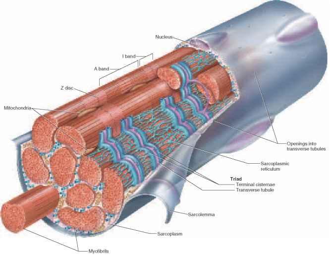 myofilaments - physiology